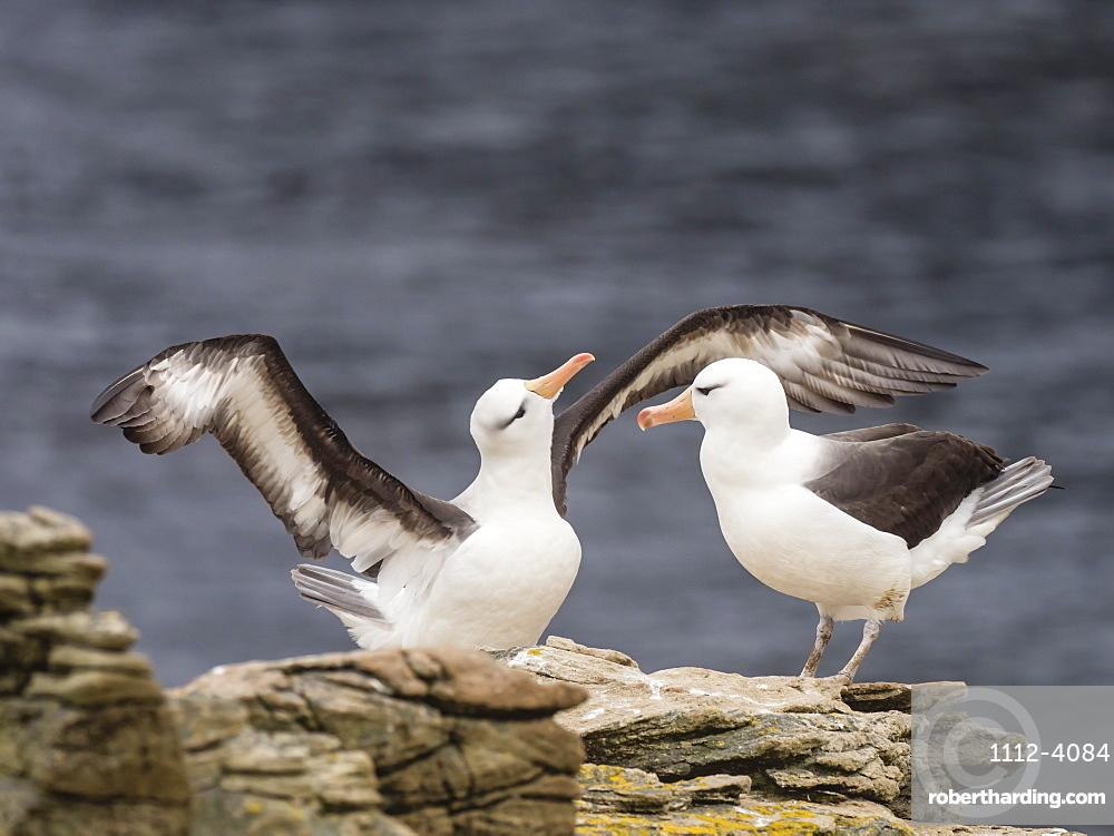 Black-browed albatross, Thalassarche melanophris, courtship display on New Island, Falkland Islands.