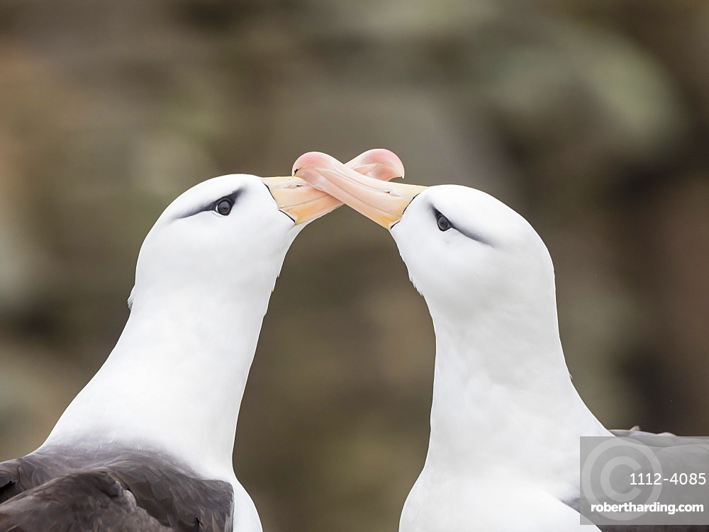 Black-browed albatross, Thalassarche melanophris, courtship display on New Island, Falkland Islands.