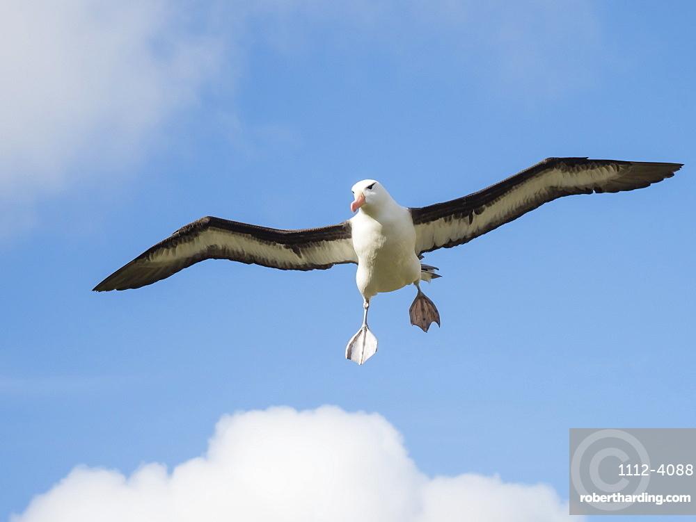 Black-browed albatross, Thalassarche melanophris, in flight at breeding colony on West Point Island, Falkland Islands.