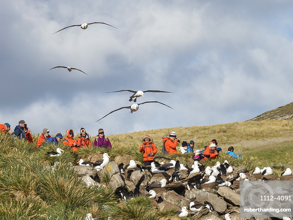 Black-browed albatross, Thalassarche melanophris, in flight near tourists on West Point Island, Falkland Islands.