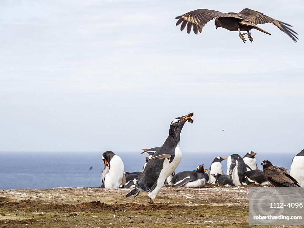 An adult striated caracara, Phalcoboenus australis, harassing a gentoo penguin, New Island, Falkland Islands.