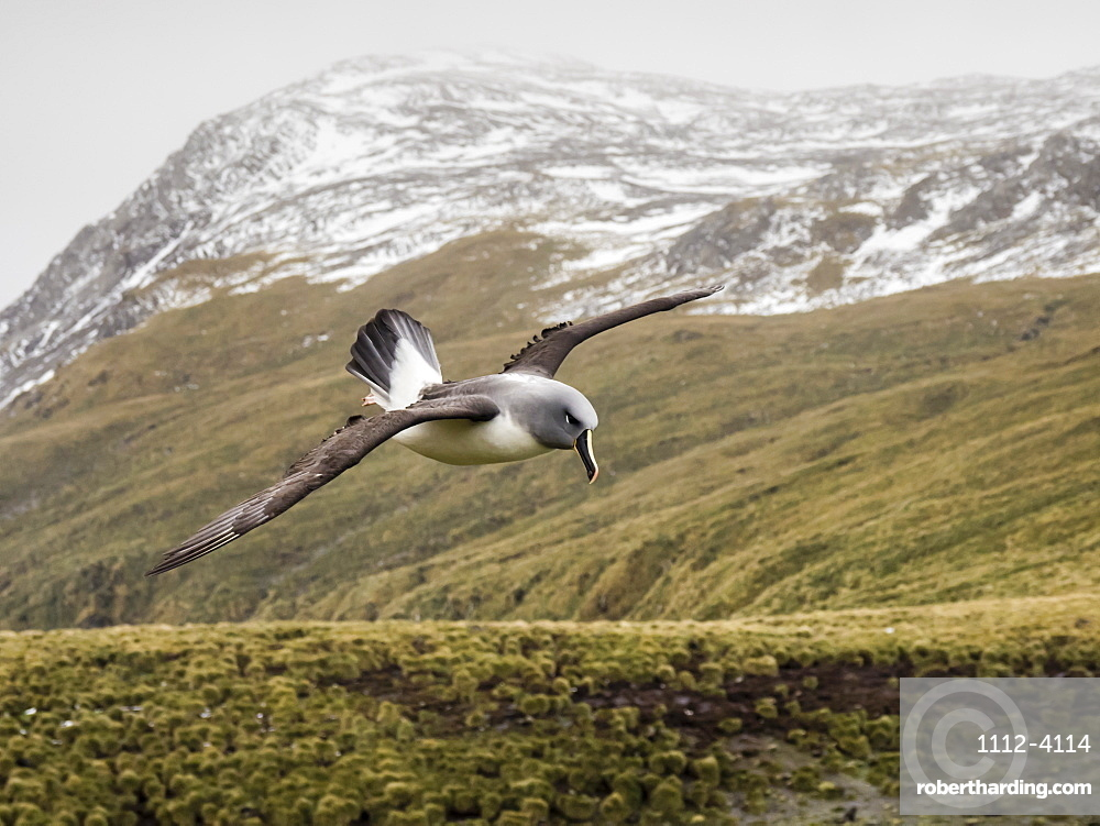 Adult grey-headed albatross, Thalassarche chrysostoma, returning to nest site at Elsehul, South Georgia Island.