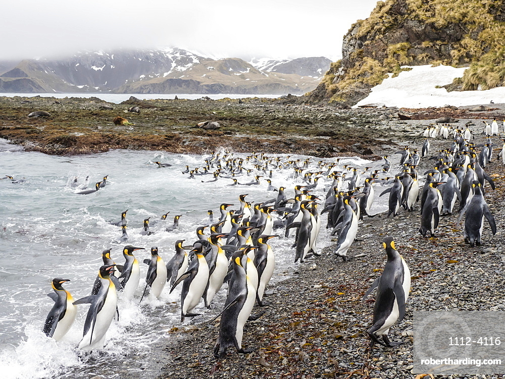Adult king penguins, Aptenodytes patagonicus, leaving the sea after feeding in Right Whale Bay, South Georgia Island.