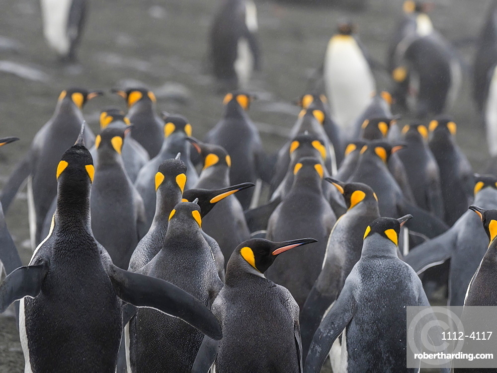 Small group of adult king penguins, Aptenodytes patagonicus, in Gold Harbour, South Georgia Island.