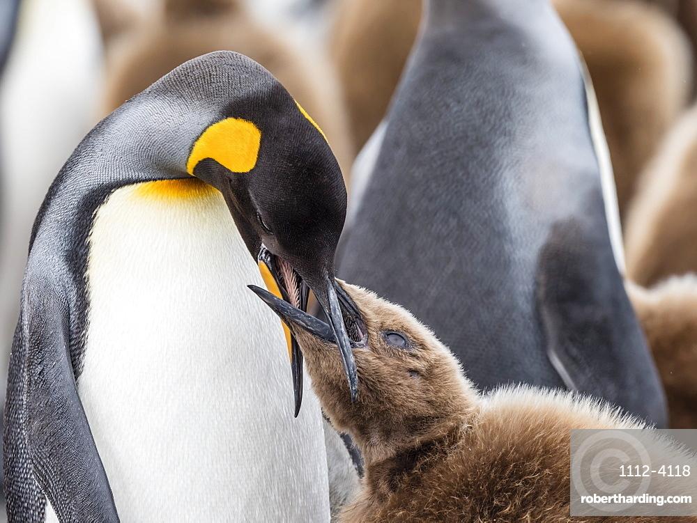 Adult king penguin, Aptenodytes patagonicus, feeding oakum boy chick at Salisbury Plains, South Georgia Island.