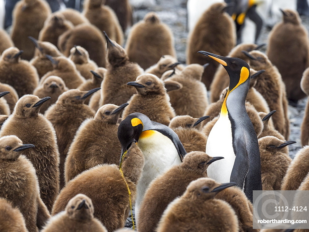Adult king penguins, Aptenodytes patagonicus, amongst chicks at Salisbury Plain, South Georgia Island.