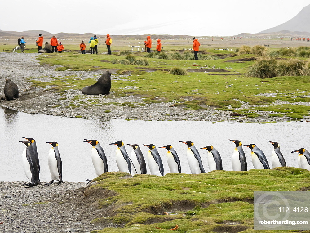 Adult king penguins, Aptenodytes patagonicus, amongst tourists in Fortuna Bay, South Georgia Island.