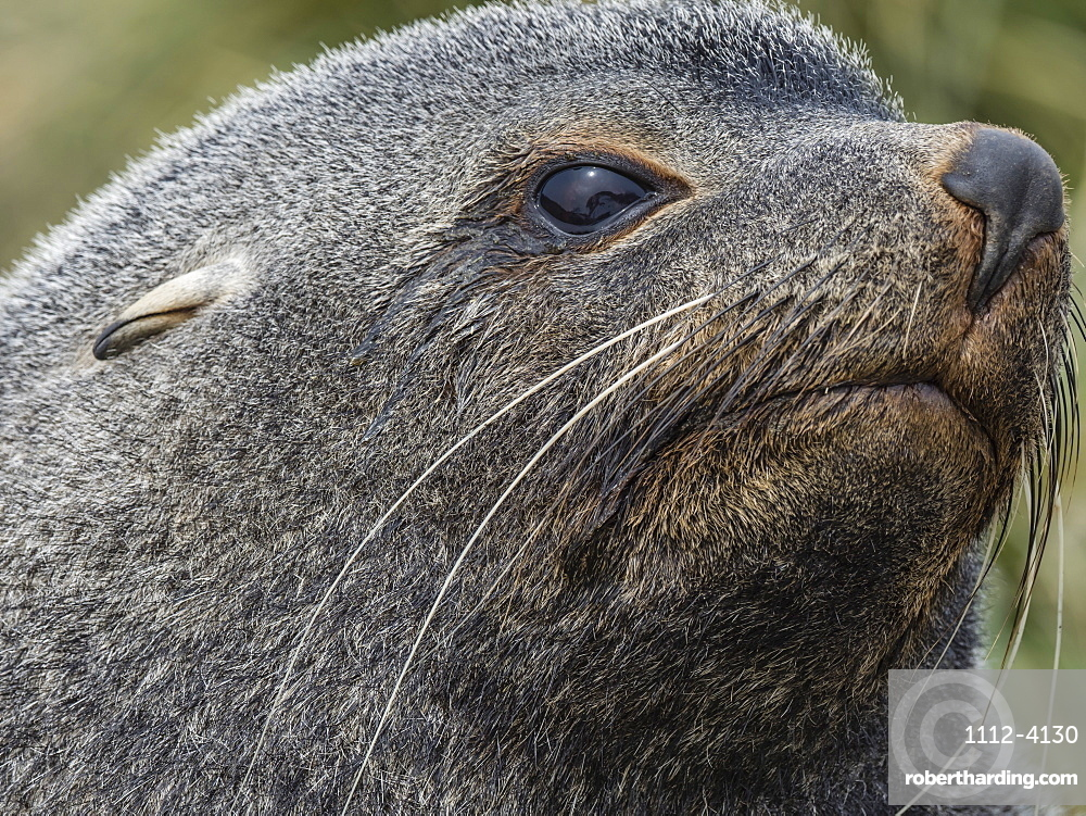 Adult bull Antarctic fur seal, Arctocephalus gazella, head detail at Ocean Harbour, South Georgia Island.