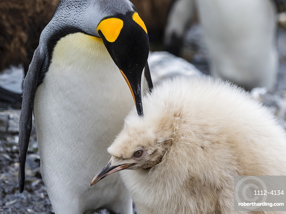 Leucistic king penguin chick, Aptenodytes patagonicus, at breeding colony on Salisbury Plain, South Georgia Island.