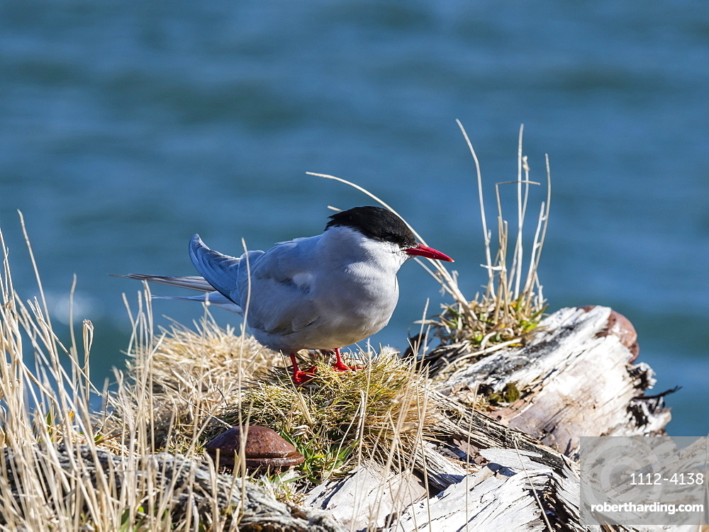 An adult Antarctic tern, Sterna vittata, at Grytviken, South Georgia Island.