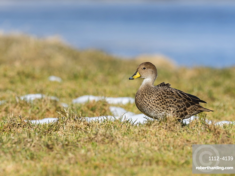 An endemic adult South Georgia pintail, Anas georgica, at the whale station in Grytviken, South Georgia Island.