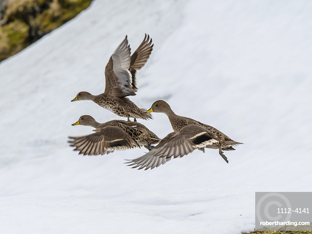 An endemic adult South Georgia pintails, Anas georgica, in flight at Moltke Harbour, Royal Bay, South Georgia Island.