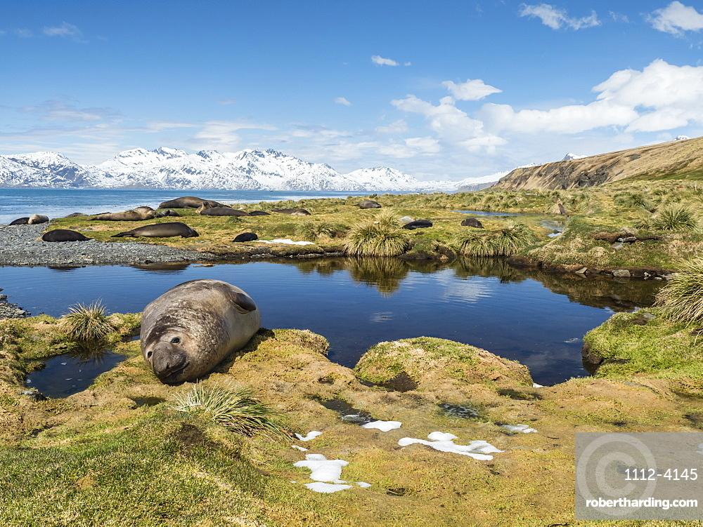 Adult bull southern elephant seal, Mirounga leonina, hauled out at Grytviken, South Georgia Island.