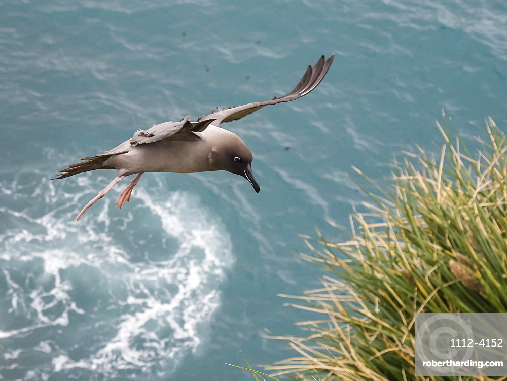An adult light-mantled albatross, Phoebetria palpebrata, landing at nesting site in Elsehul, South Georgia Island.