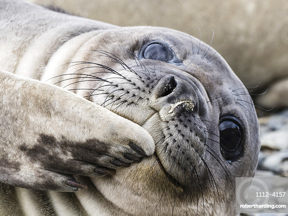 Southern elephant seal pup, Mirounga leonina, recently weaned from mom, Jason Harbor, South Georgia Island.
