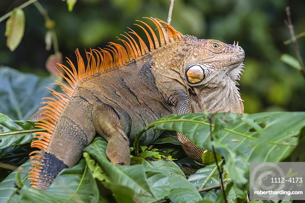 An adult male green iguana, Iguana iguana, in breeding coloration, Tortuguero National Park, Costa Rica, Central America