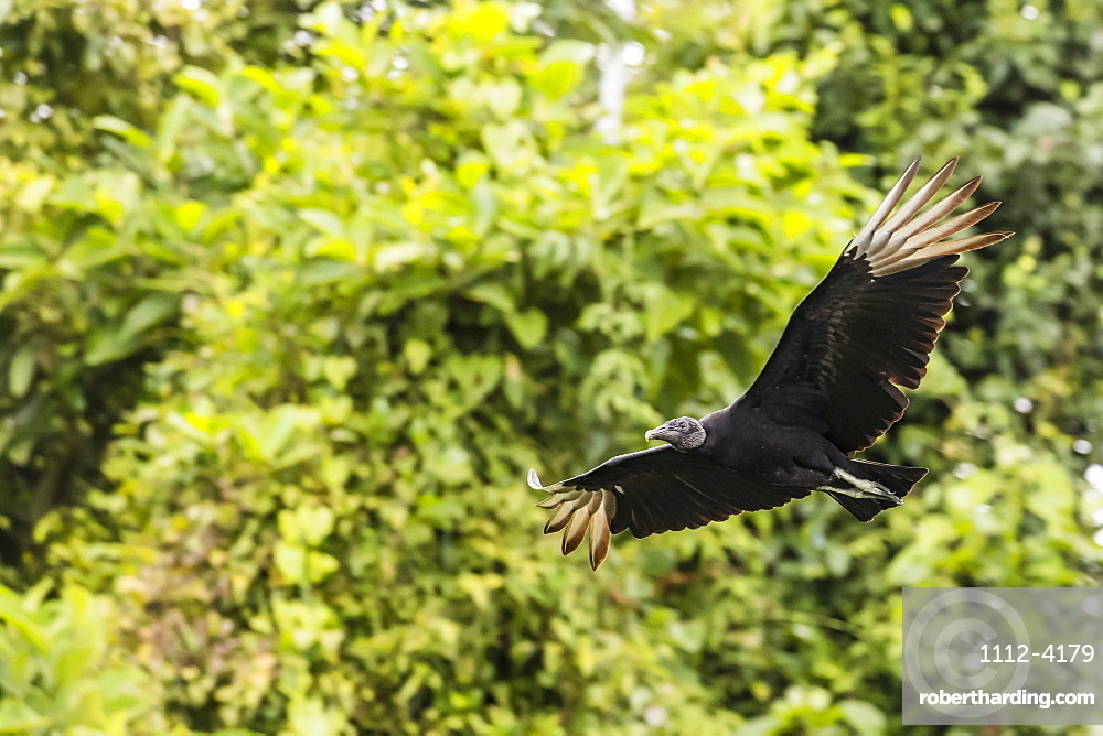An adult black vulture, Coragyps atratus, in flight at Golfito, Golfo Dulce, Costa Rica, Central America