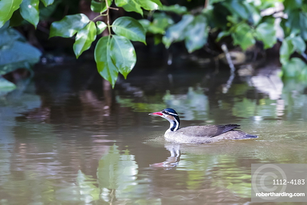 An adult sungrebe, Heliornis fulica, swimming in Cano Chiquerra, Tortuguero National Park, Costa Rica, Central America