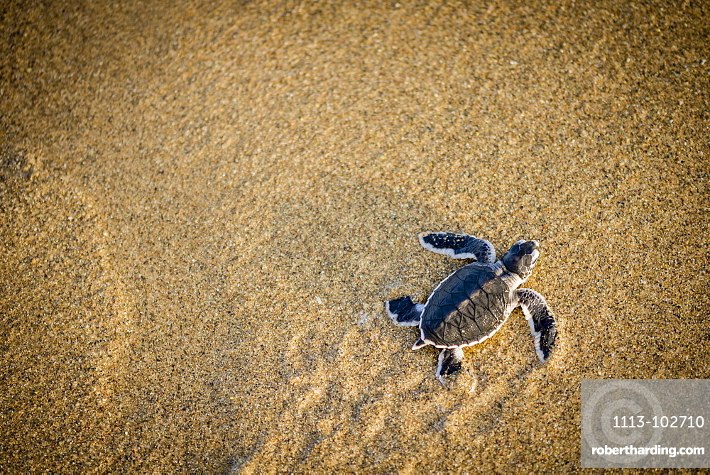 Baby green turtle a green turtle at the beach - Indonesia, Java