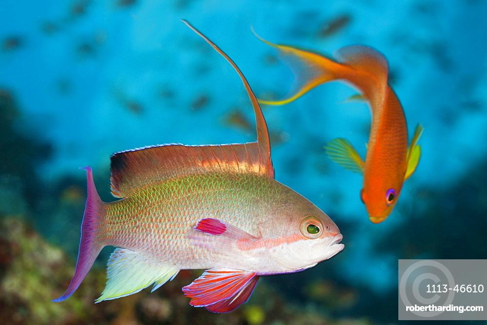 Lyretail Anthias, Pseudanthias squamipinnis, Namena Marine Reserve, Fiji