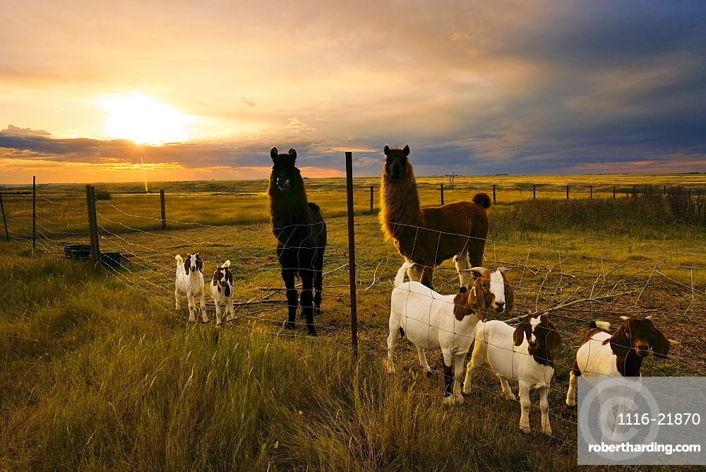 Goats and Llamas in field at sunset near Moose Jaw, Saskatchewan