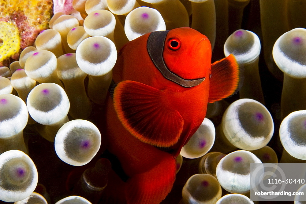Indonesia, Spine-cheek anemonefish (Premnas biaculeatus) hiding in anemone.