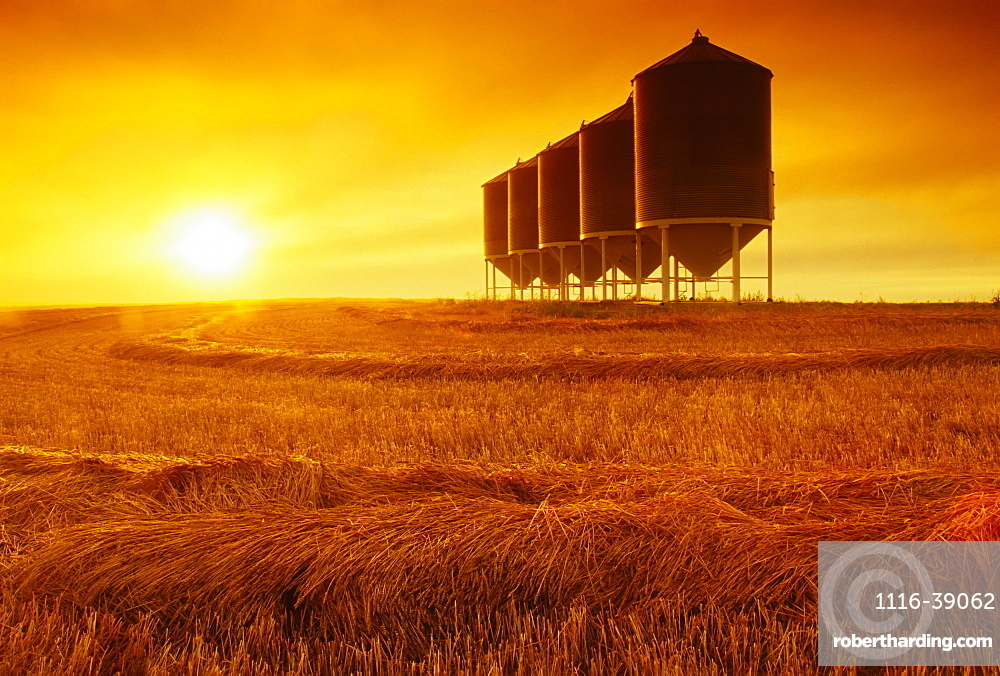 Agriculture - Mature crop of Spring wheat that has been swathed and is drying prior to combining; sunset scene with grain bins in the background / Tiger Hills, Manitoba, Canada.