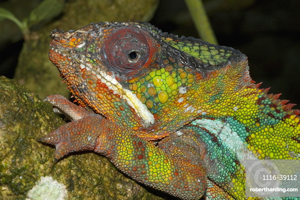 Panther Chameleon (Furcifer Pardalis), Marozevo, Toamasina Province, Madagascar