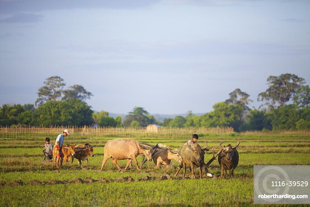 Bunong boys ploughing with Water Buffalo, Mondulkiri, Bangladesh