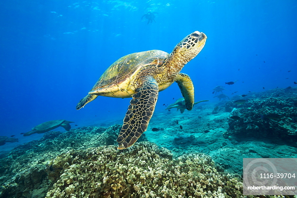 Green sea turtles (Chelonia mydas), an endangered species, gathering at a cleaning station off Maui, Maui, Hawaii, United States of America