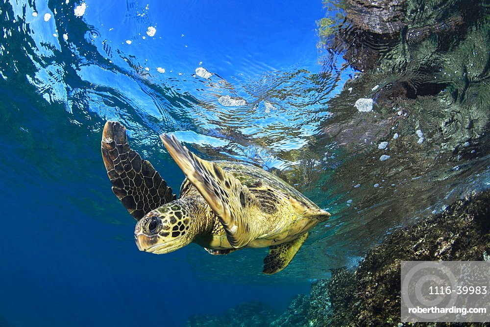 Hawaiian Green Sea Turtle (Chelonia mydas), Maui, Hawaii, United States of America
