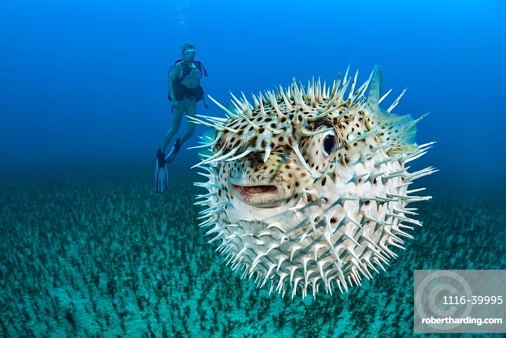 Diver and a Spotted porcupinefish (Diodon hystrix), Hawaii, United States of America
