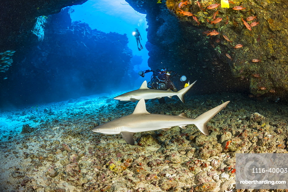 This dive site off the Kona coast is known as A Touch of Gray and is home of several juvinile Grey reef sharks (Carcharhinus amblyrhynchos), Hawaii, United States of America