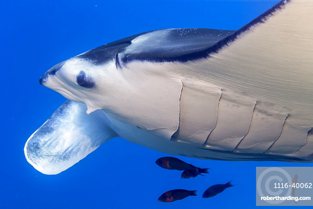 Endemic Hawaiian Saddle Wrasse (Thalassoma duperrey) approach to clean a Reef Manta Ray (Mobula (formerly Manta) alfredi) of parasites at a reef cleaning station off the Kona Coast, the Big Island, Hawaii, USA. This particular female manta with a missing