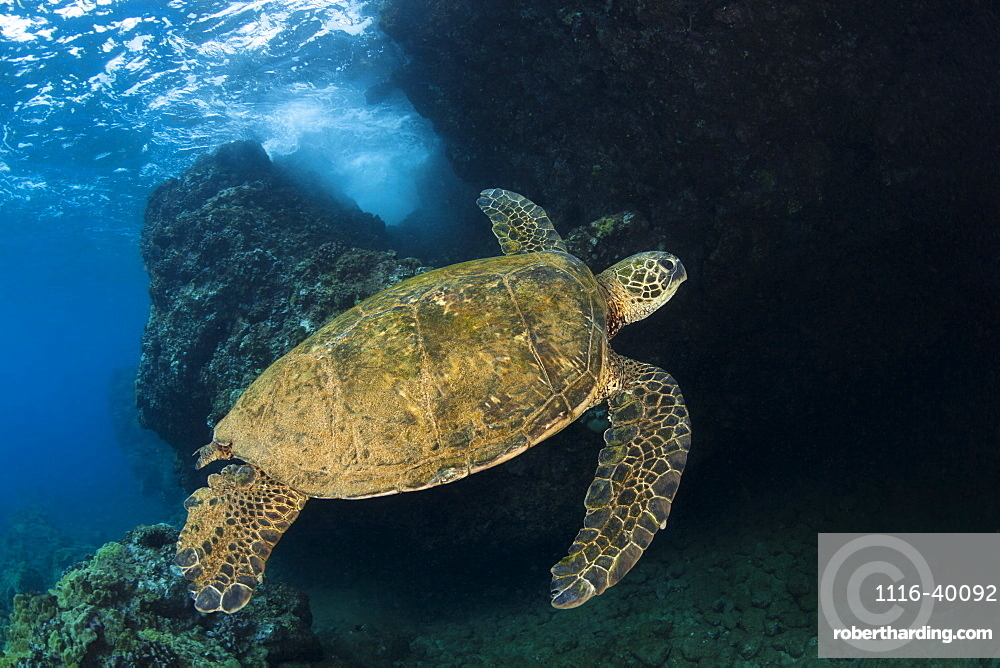 Hawaiian Green Sea Turtle (Chelonia mydas) named 'Honu', Makena, Maui, Hawaii, United States of America