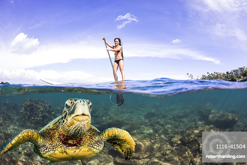 A green sea turtle (Chelonia mydas), an endangered species, surfaces for a breath in front of a stand-up paddle board off the coast of Maui, Maui, Hawaii, United States of America