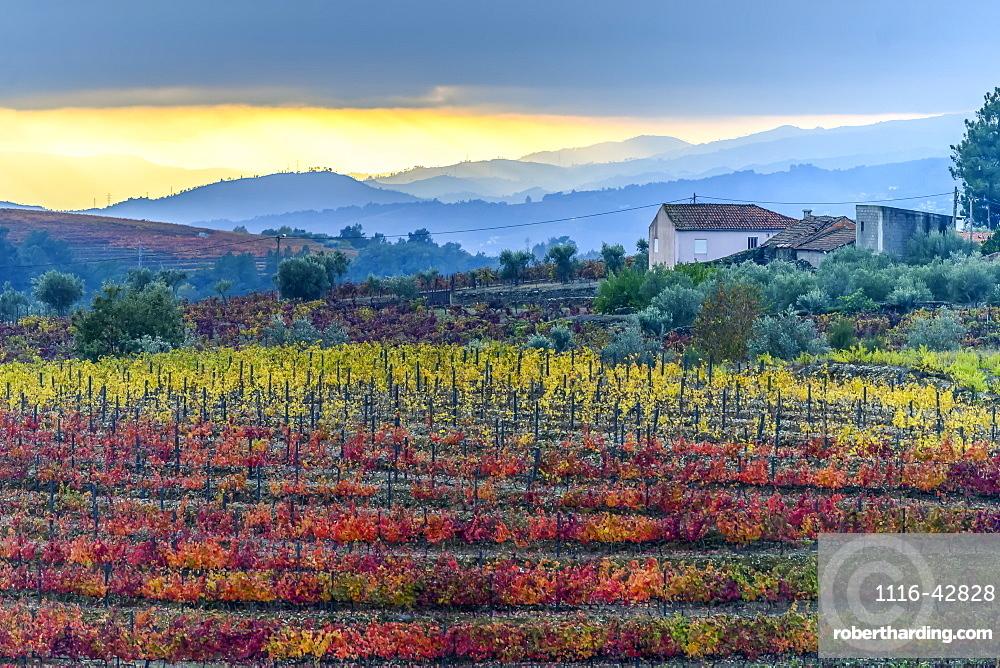 Colourful, autumn coloured foliage on crops in Douro Valley, Peso da Regua, Vila Real, Portugal
