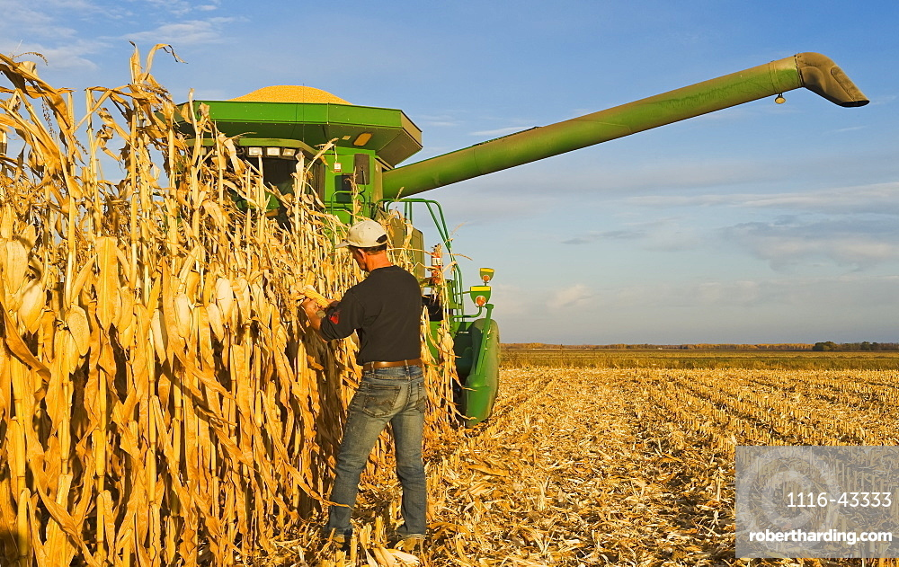 A farmer examines mature, harvest ready feed/grain corn in front of his combine harvester during the harvest, near Niverville, Manitoba, Canada