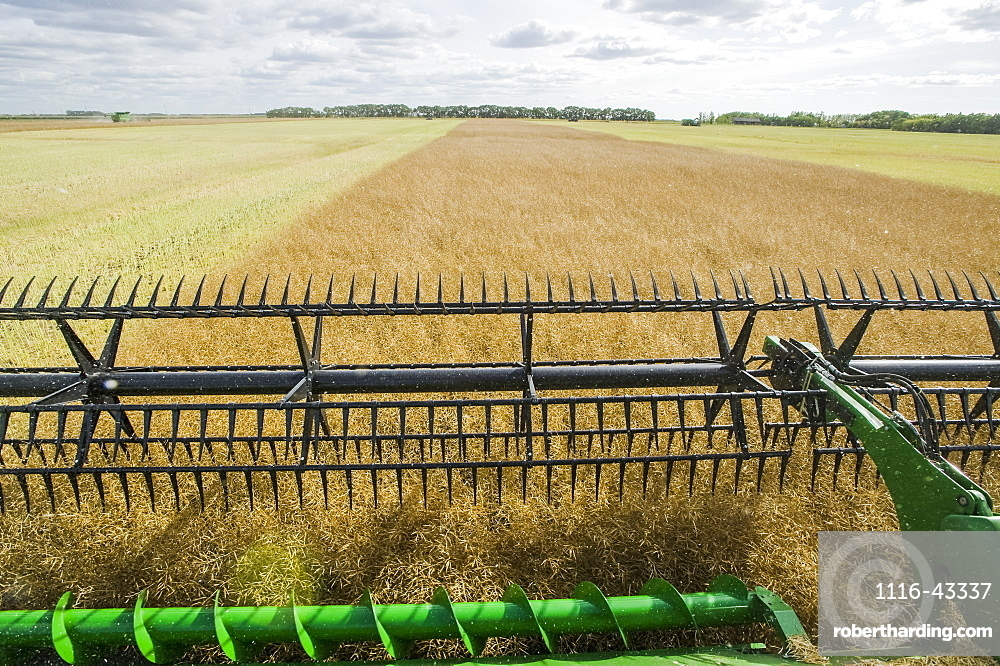 Close-up of a combine harvester header straight cutting in a mature standing field of canola during the harvest, near Niverville, Manitoba, Canada