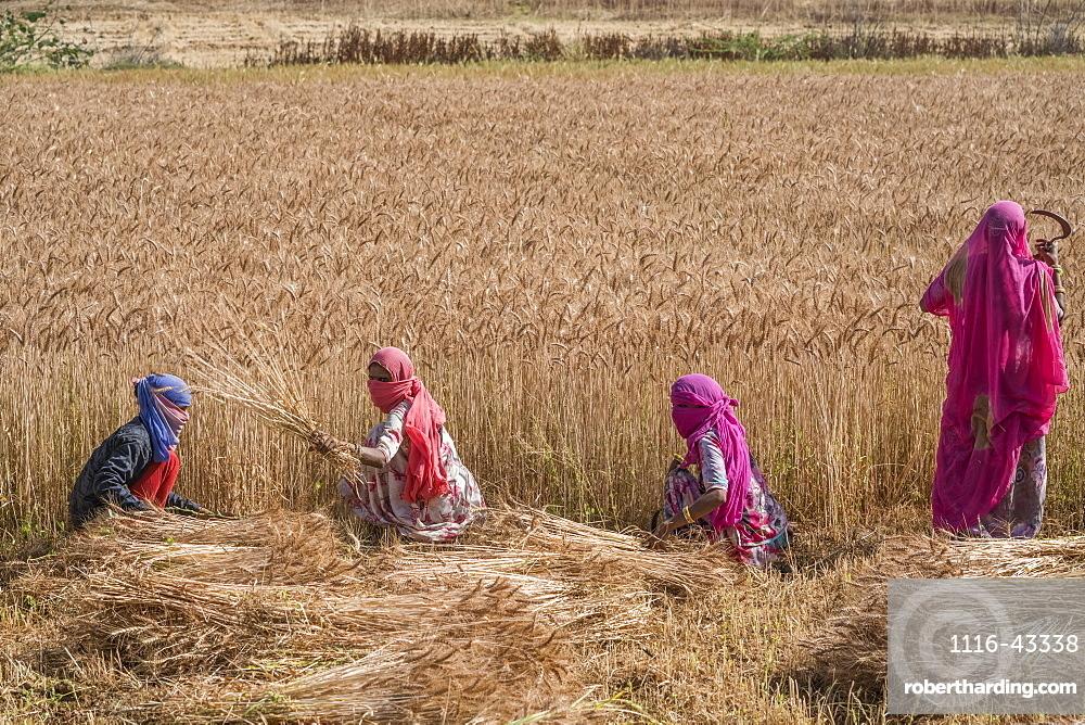 Woman harvesting wheat in the northern region of Jowai, Jowai, Meghalaya, India