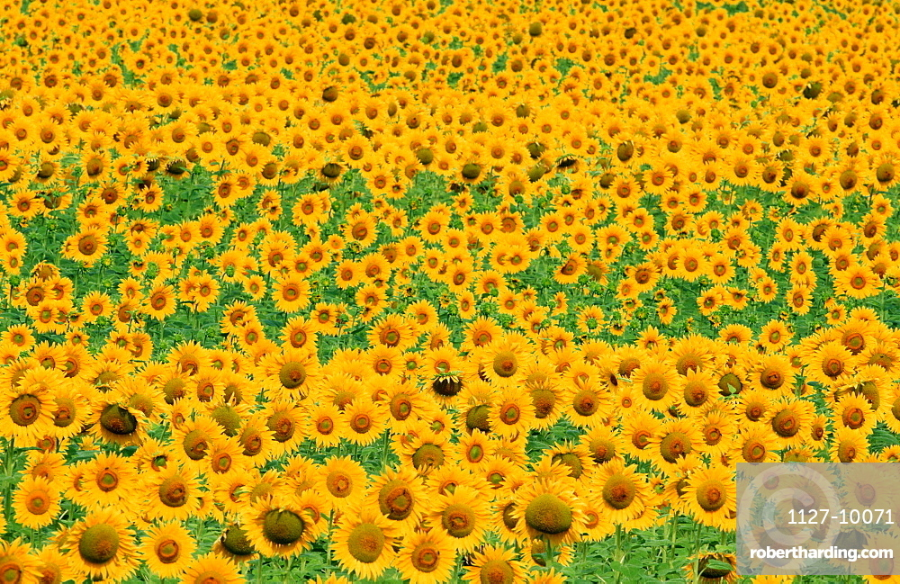 Sunflower field, Provence, Southern France / (Helianthus annuus)
