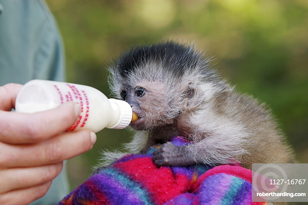 Young Brown Capuchin Monkey, hand | Stock Photo