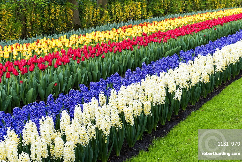 Row Flower Garden : Rows of multi coloured tulips and stock photo
