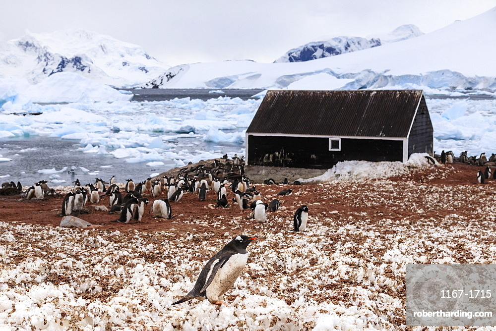 Gentoo penguin (Pygoscelis papua) colony and guano covered snow, Chilean Gonzalez Videla Station, Waterboat Point, Antarctica