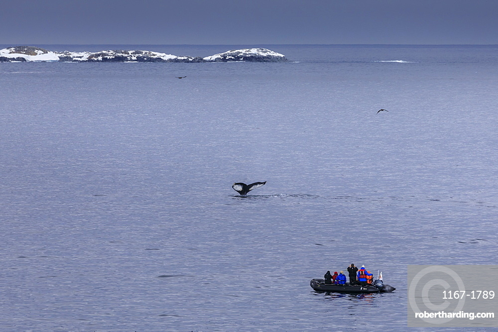 Humpback Whale (Megaptera novaeangliae) fluke, watched by tourists in zodiac, Torgersen Island, Antarctic Peninsula, Antarctica, Polar Regions