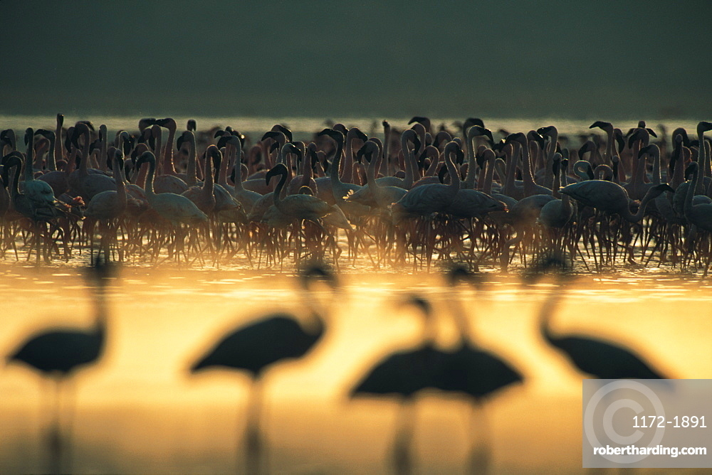 Flock of Flamingoes