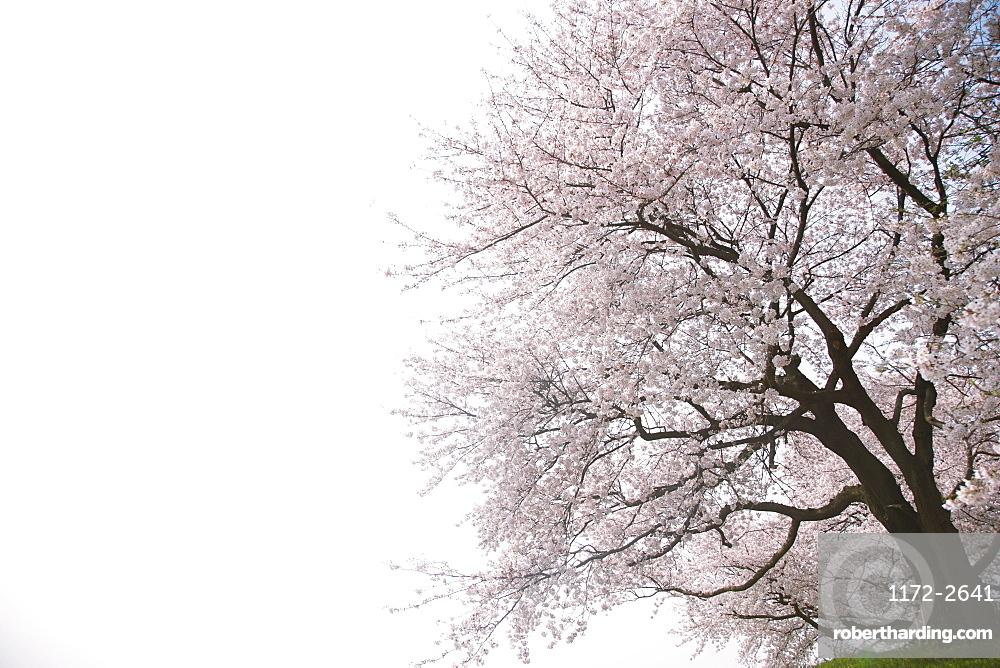 Cherry Tree against Clear Sky