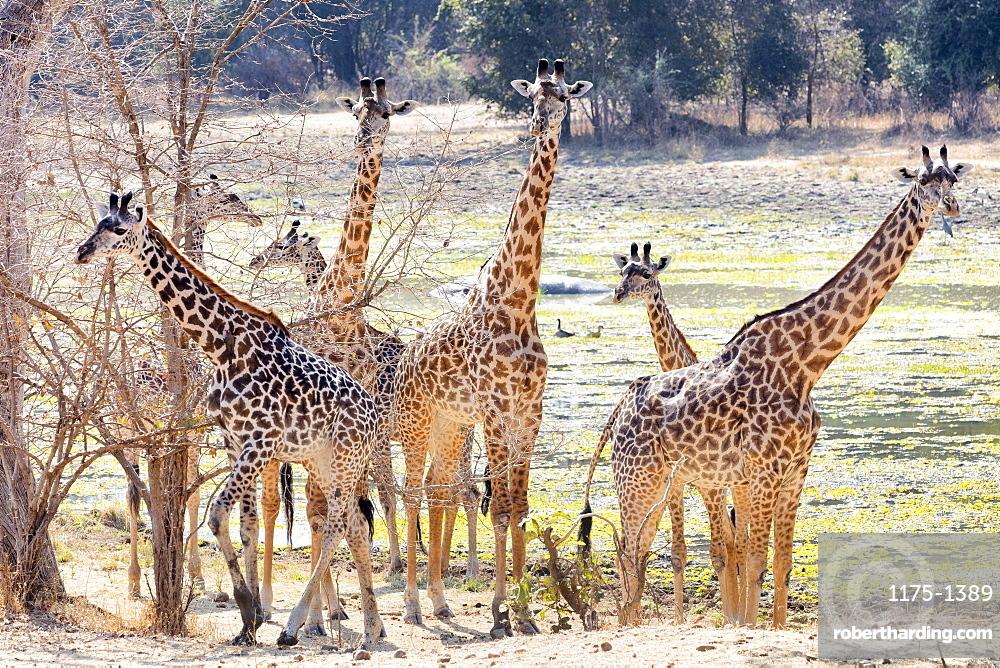 Giraffes in the wild, Zambia, Africa