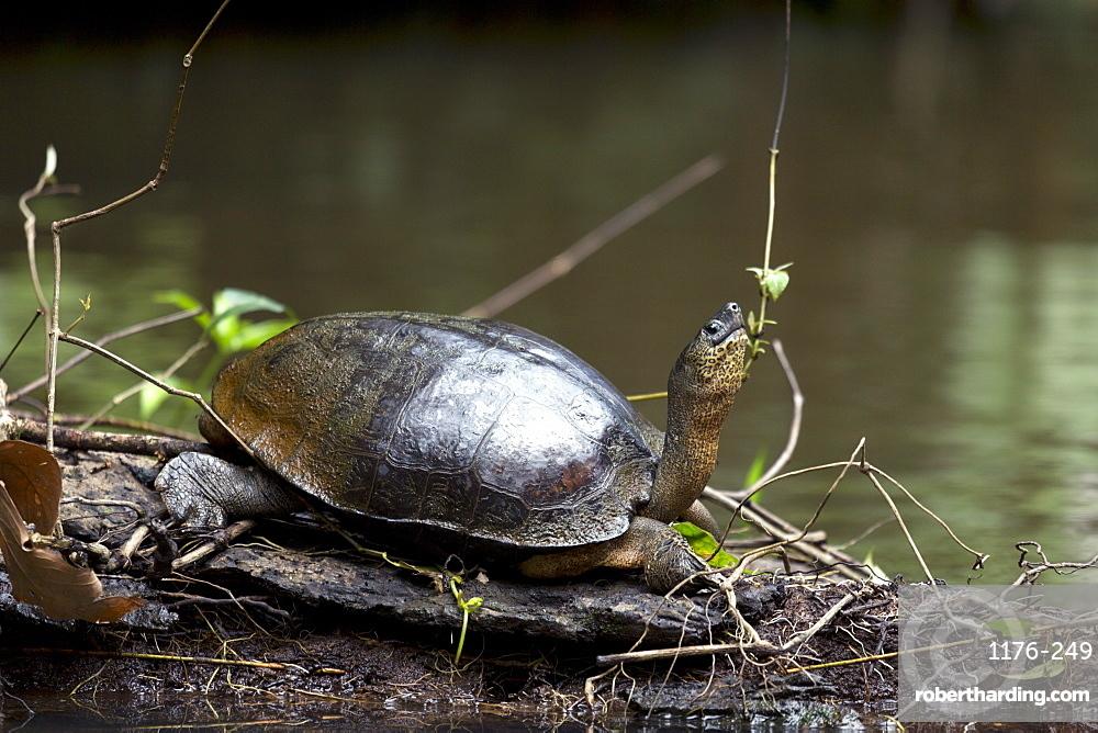 Black river turtle (Rhinoclemmys funerea), Limon, Costa Rica, Central America