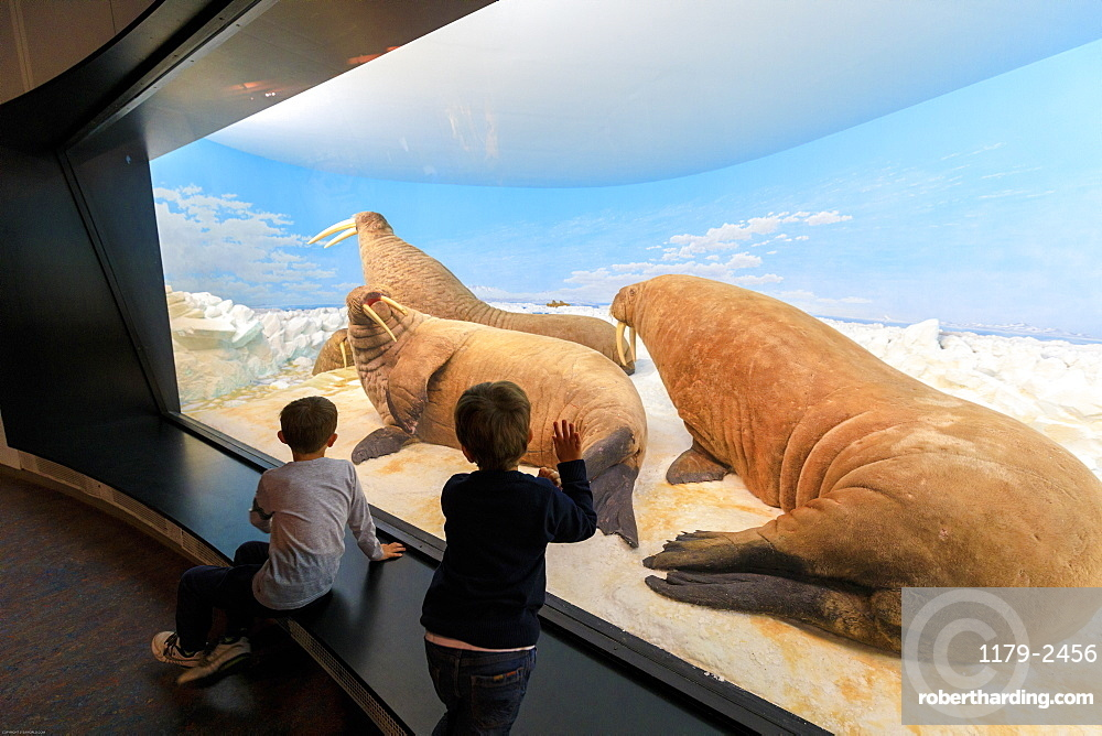 Children look at walruses of the past from the glass window, Zoological Museum, University of Copenhagen, Denmark, Europe